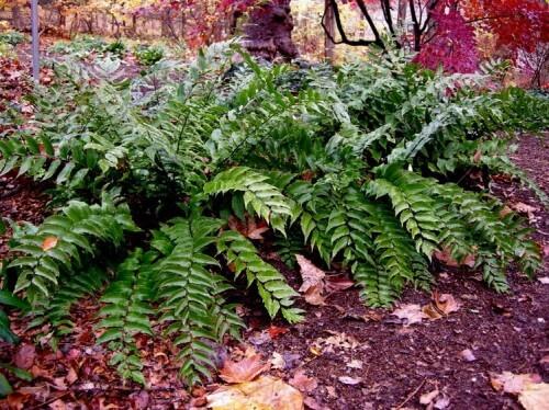 tuinplanten-Cyrtomium falcatum