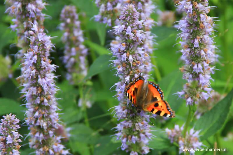 Een vlinder op de Agastache
