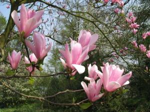 Magnolia bloem