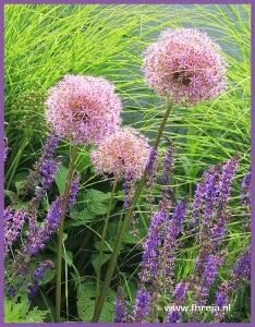 Sierui - Allium - Kniphofia - Fhreja - Ontwerpbureau Groene Leefomgeving