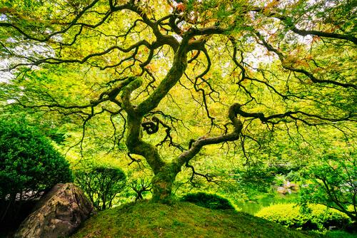Grote boom in Japanse tuin