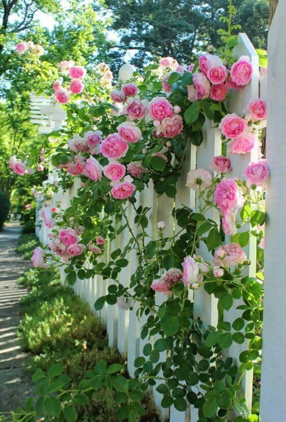 Hekje met prachtige rozen