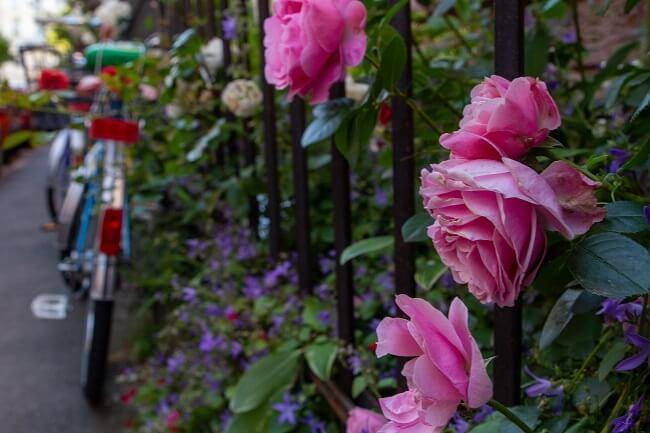 Hekje met rozen