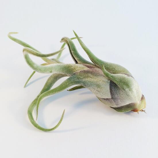 Luchtplantje Tillandsia Caput Medusae