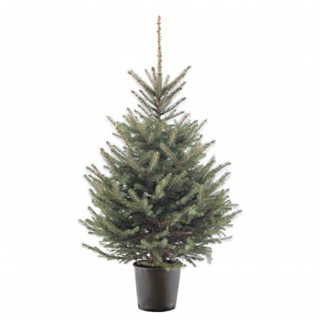 blauwspar-kerstboom