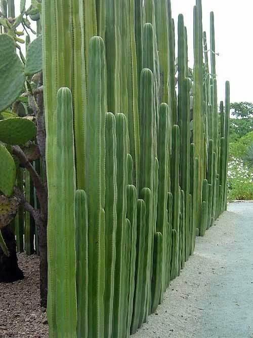 Hoge cactussen