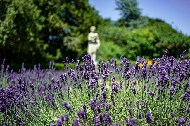 Lavendel en pergola's
