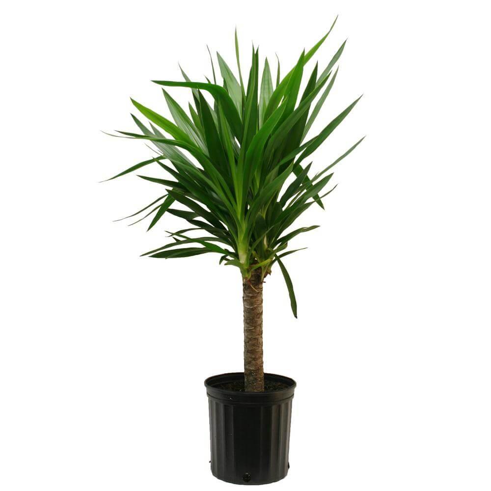 drakenbloedboom plant