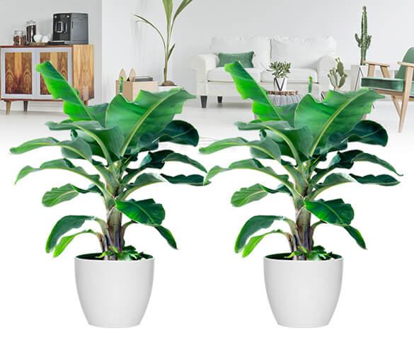 groupdeal bananenplant