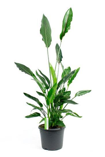 Paradijsvogelbloem plant