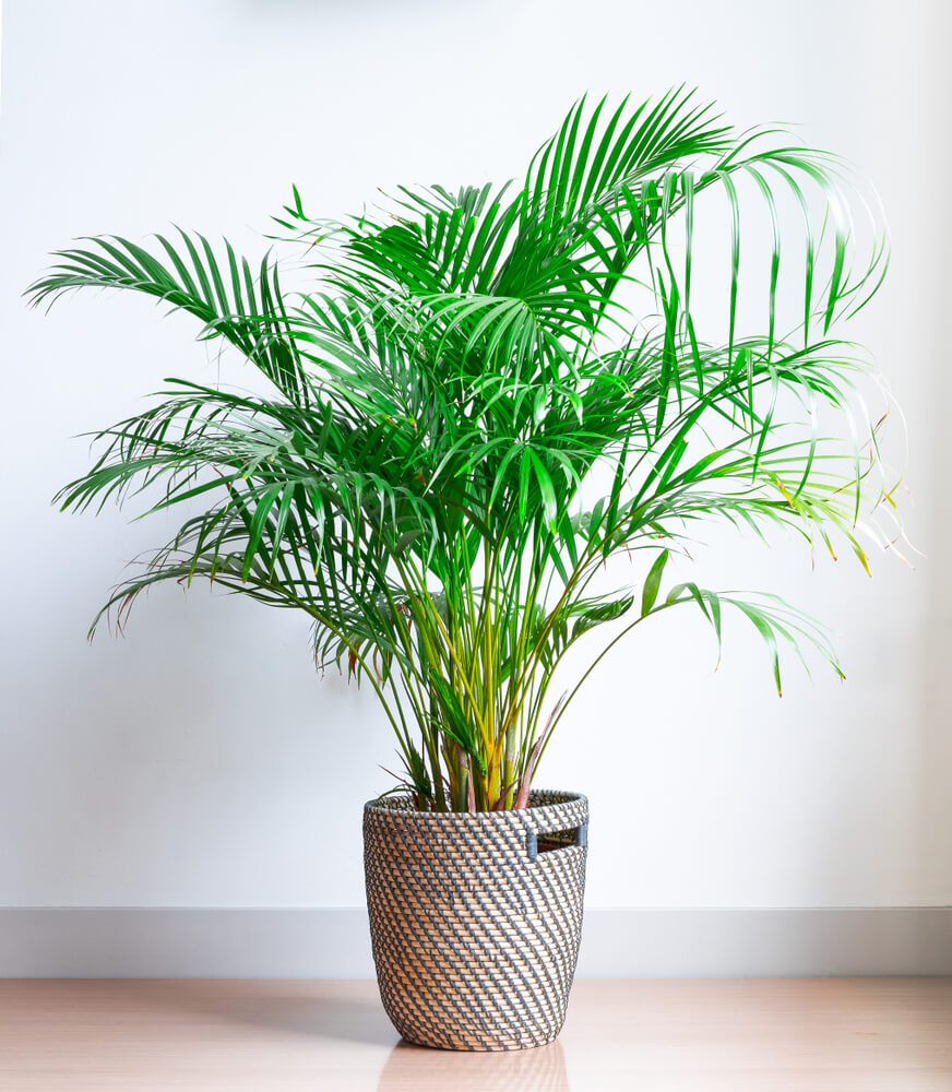 Chrysalidocarpus lutescens - goudpalm