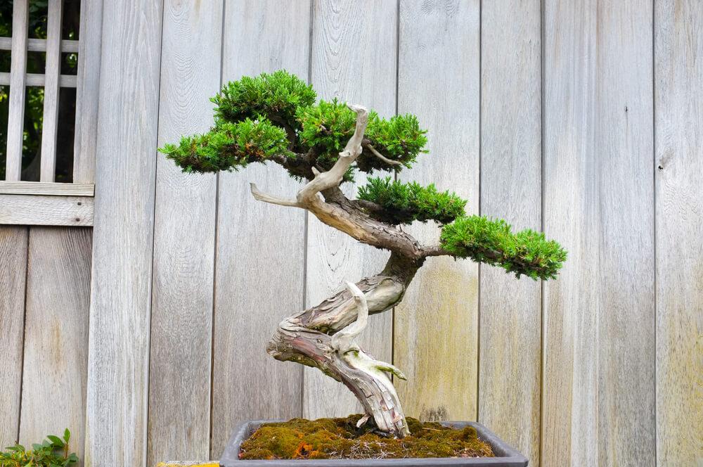 15 prachtige grote kamerplanten ik woon fijn - Bonsai verdecora ...