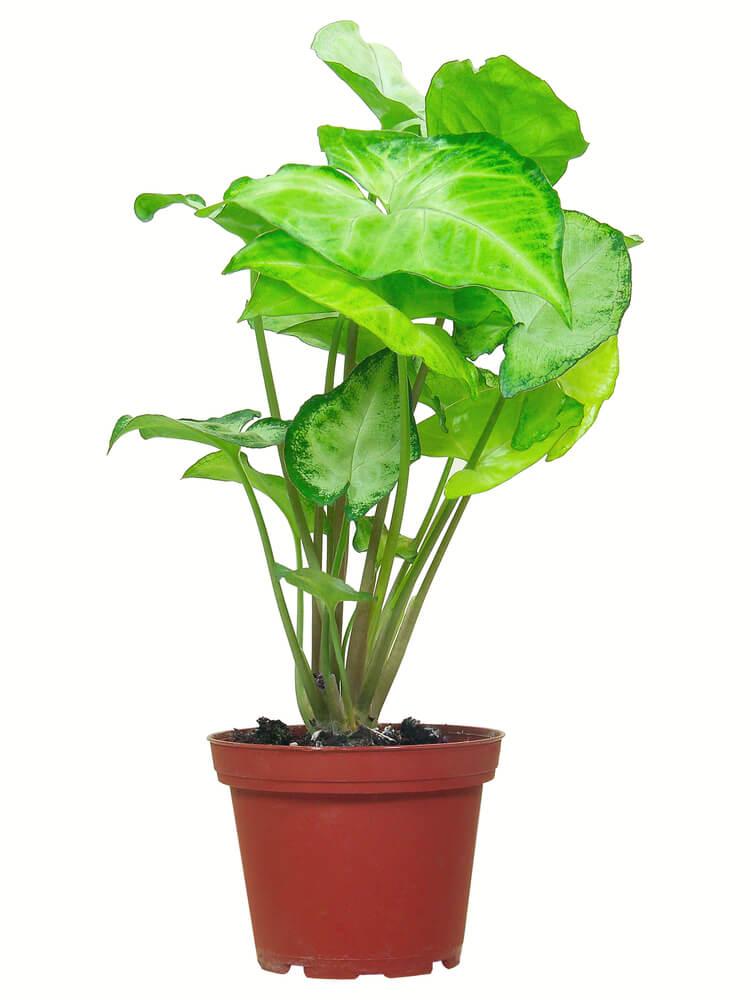 Xanthosoma grote kamerplant