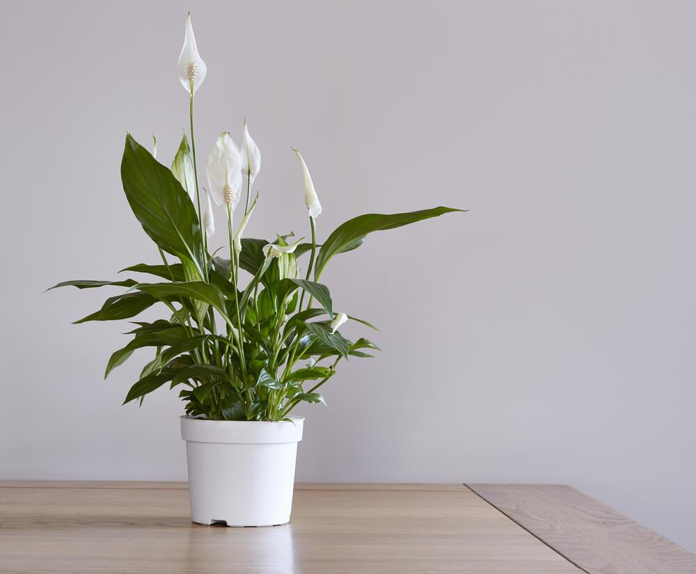 Spathiphyllum, 'lepelplant'