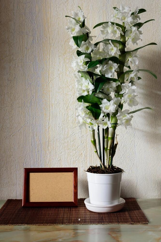 Bamboe orchidee
