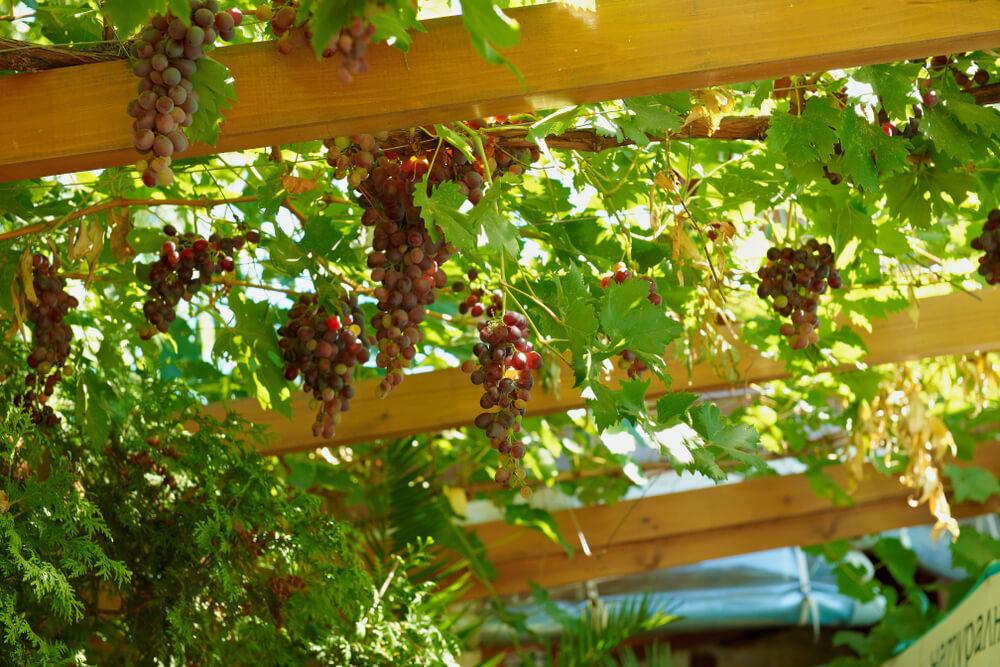 Pergola met druiven