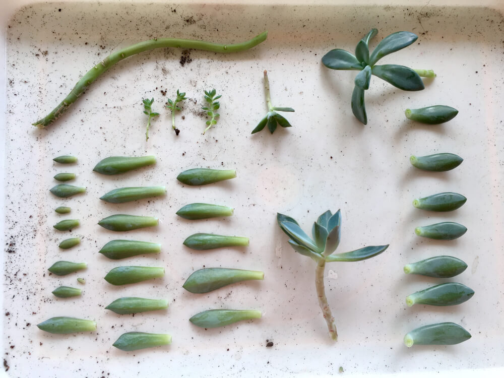 vetplantje stekken