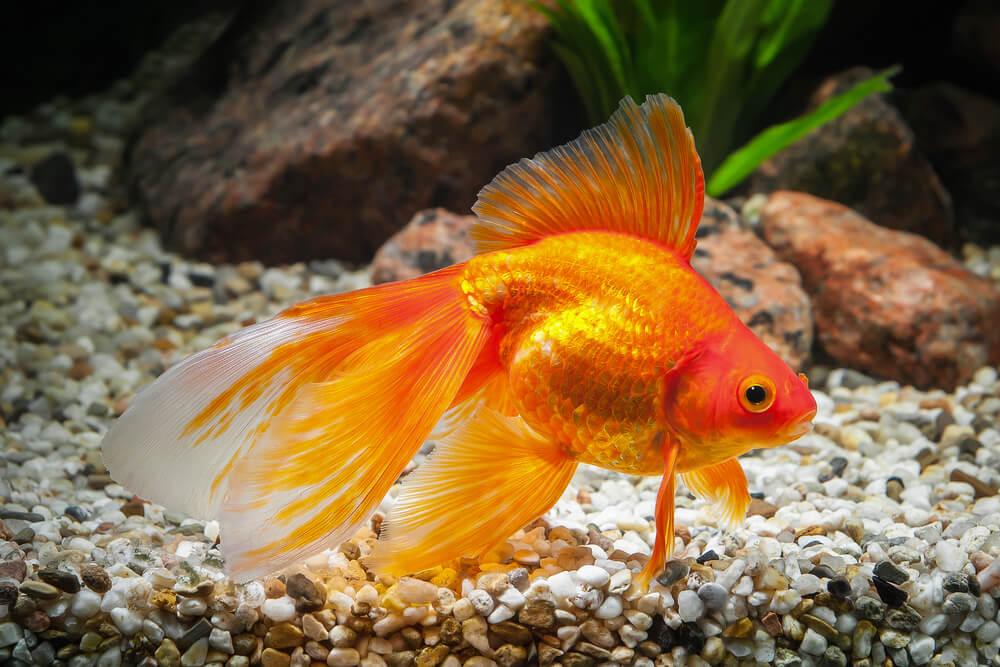 vissen geschikt voor vijver