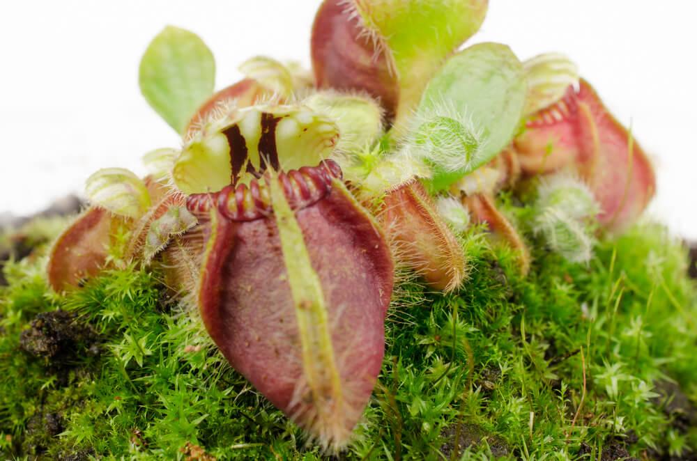 vleesetende plant