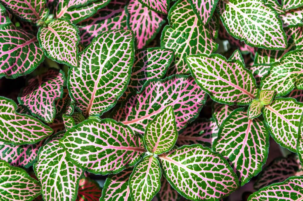 roze plant