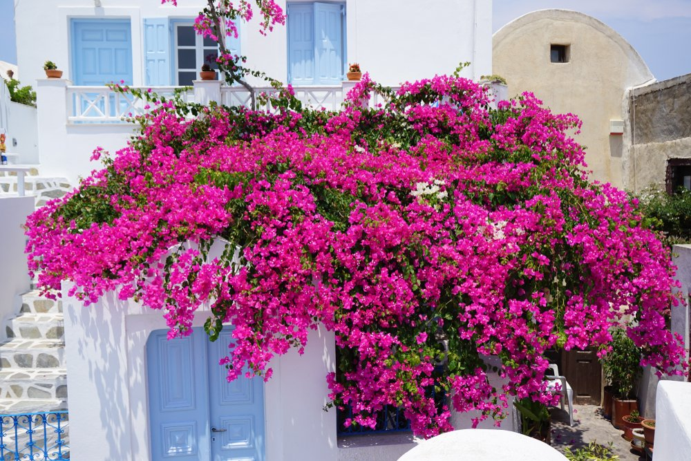 Bougainvillea in bloei