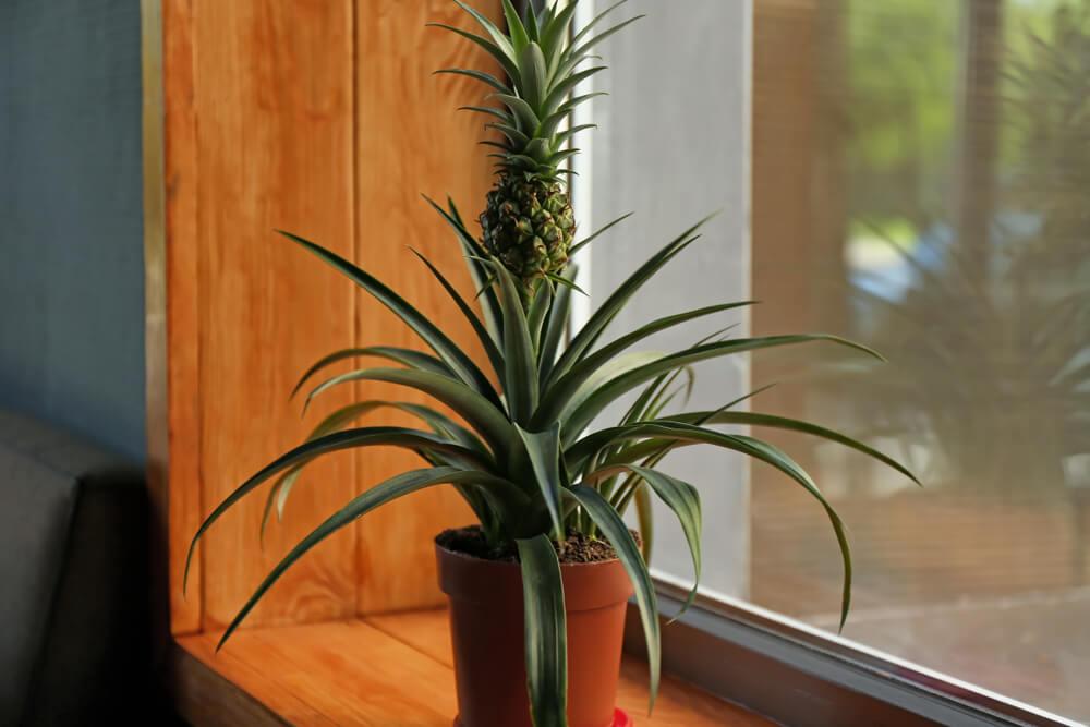 Grote plant als hoge vensterbank decoratie