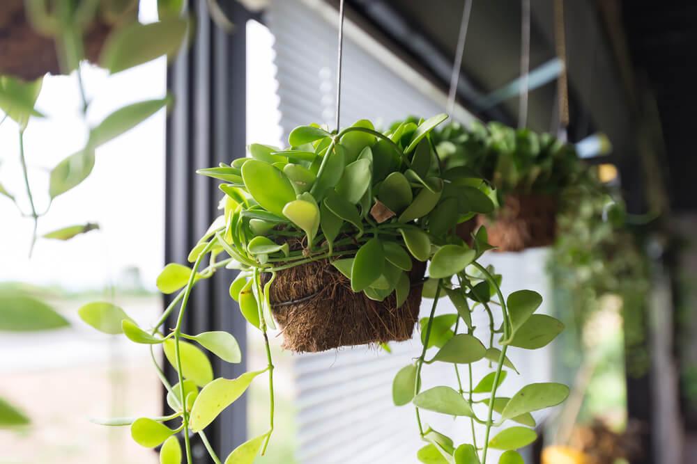 Hangende planten vensterbank