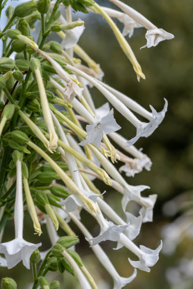 Siertabak (Nicotiana Sylvestris)