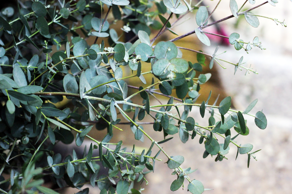 Eucalyptus (Gunnii)