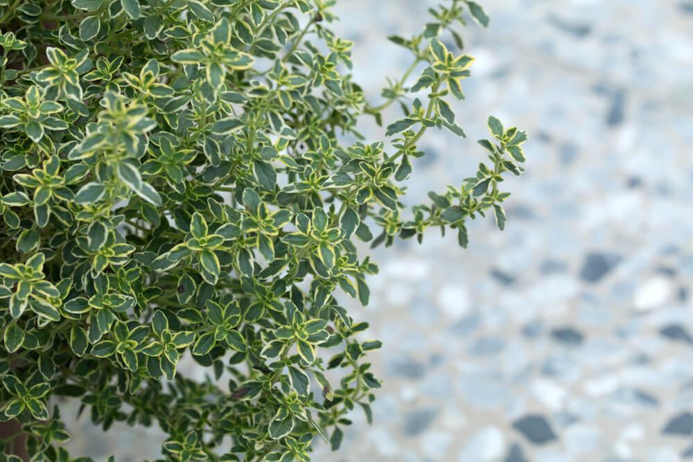 Citroentijm (Thymus Citriodorus)