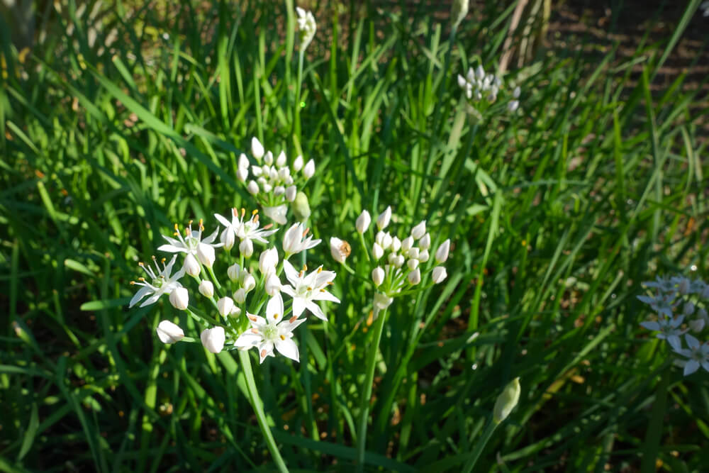 Knoflookbieslook (Allium Tuberosum)