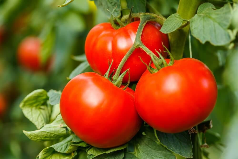 Tomatenplant (Solanum Lycopersicum)