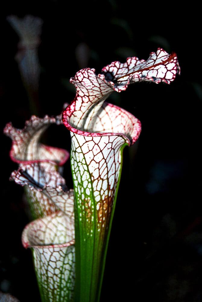 Trompetbekerplant (Serracenia)