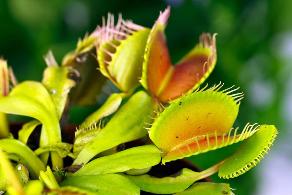 Venus vliegenval(Dionaea Muscipula)