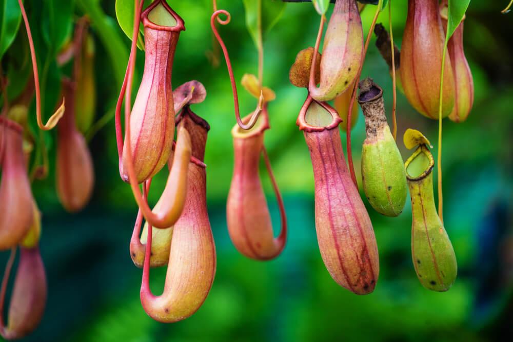 Kelk bekerplant (Nepenthes)