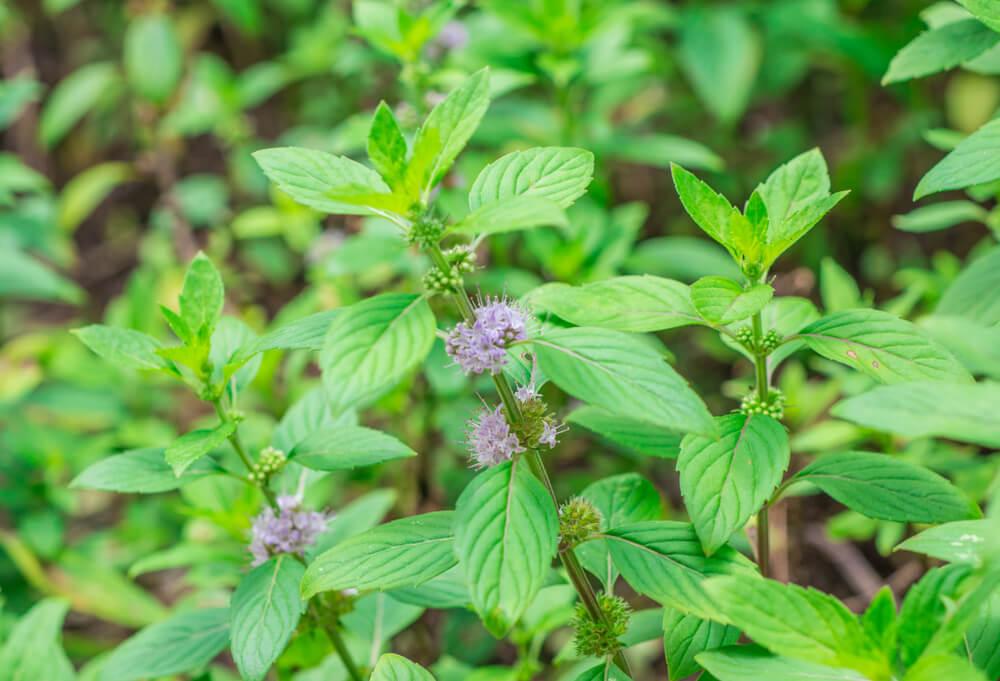 Polei (Mentha Pulegium)