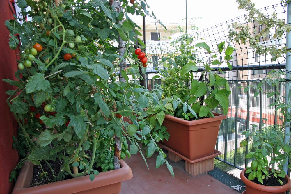 Tomatenplant op balkon