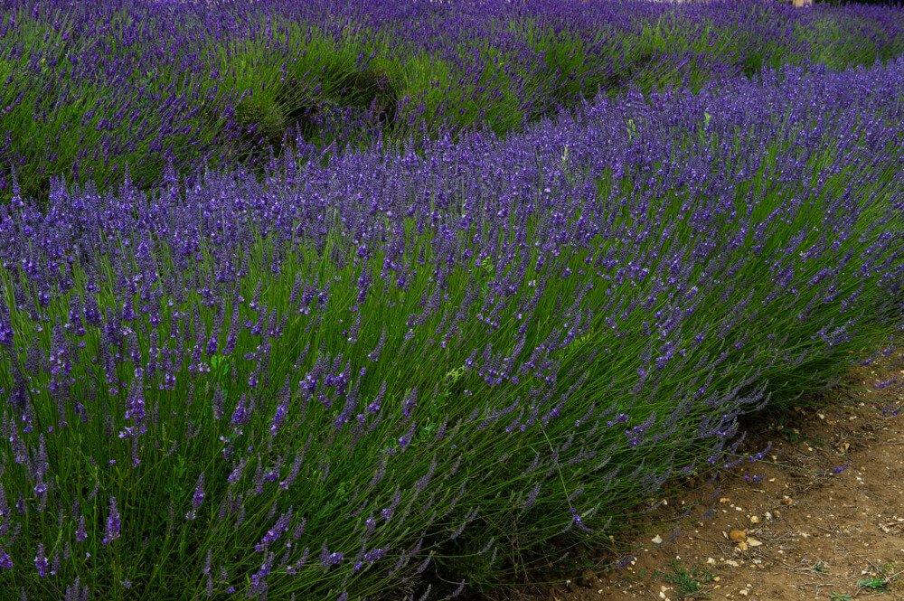 Lavendel (Lavandula Intermedia)