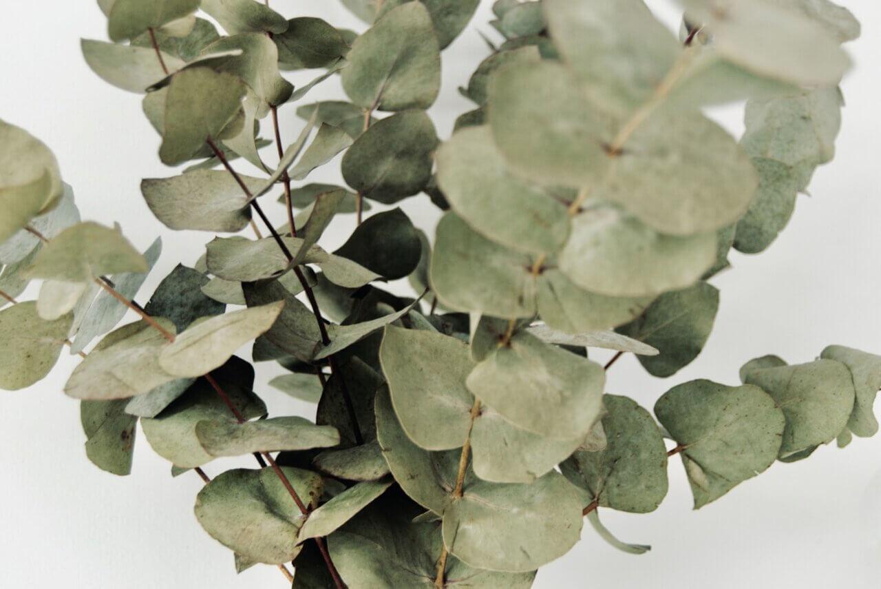 Eucalyptus binnen: ga voor de Eucalyptus op stam of juist droogtakken