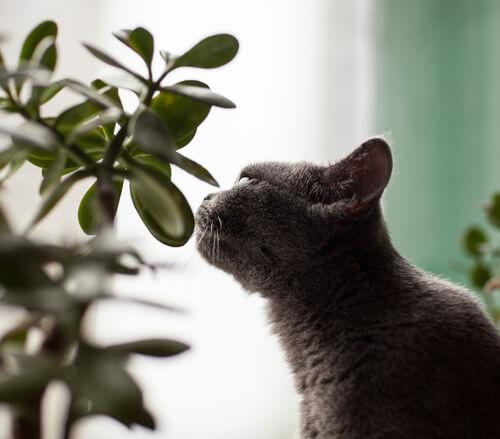 citroenverbena tegen katten