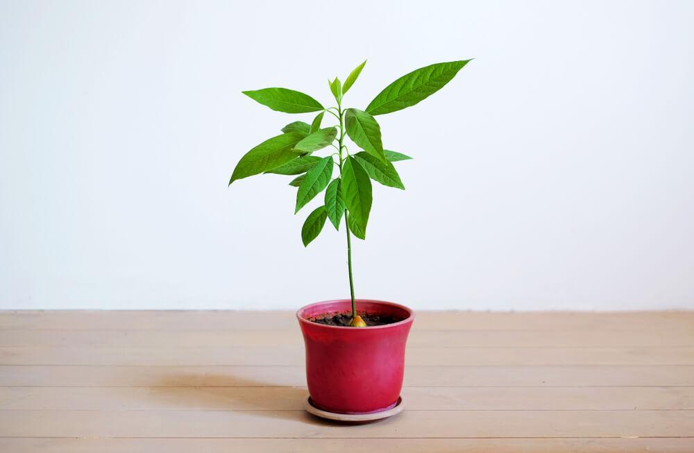 Hoe kweek je je eigen hippe avocadoboom?
